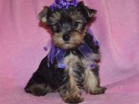 Yorkie, female, AKC pet priced at $800. Outgoing