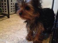 AKC Black and Tan female 4 months old sweet and playful