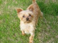 Samwise is 17 months old. He is a pure breed Yorkie. He