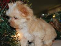 Looking for that special little yorkie ? This little