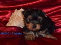 We have a fantastic, sweet, stunning akc yorkie male.