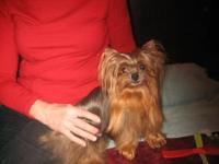 Papered female yorki good with kids people and animals.