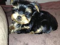 Yorkie, These males puppies are unbelievably small and