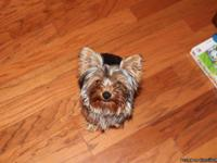 Sale is a 7 month old Yorkie male.  He