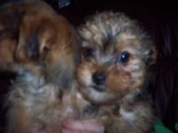 Hello up for sale my baby Yorkie, he is 1.5 old CKC