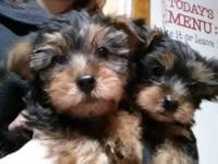 I have a 6.5 year old yorkie I am rehoming her for a