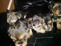 This little Yorkie boy is 9 weeks old and will be