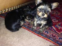 Hi, I've 3 pure-breed yorkie pups 2 months old. Tails