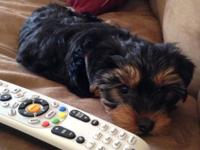 13 week old yorkie for sale located in Warrenton