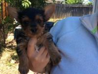 Hillo e customers I have three adorable yorkie puppies