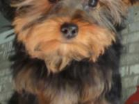 Beautiful yorkie male for sale up to date on vaccines