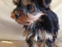 Yorkie male 10 weeks old , tail docked,dewclaws