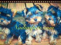 I got 2 male and 1 female Yorkies. They are beautiful