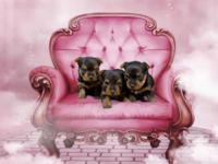 AKC/ ACA pet just, These beautiful doll faced, smooth