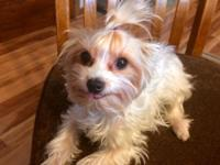 Female, Parti yorkie for sale. She is a years of age,