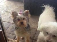 7 month old yorkie female. Charming outbound playful