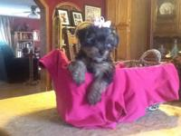 I have a 10 week old female Yorkie that is ready for
