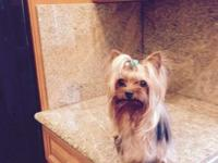 AKC Yorkshire Terrier Female, 1 year current on all