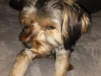 8 mth old Male Yorkie, crate trained, house trained,