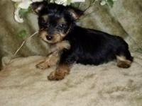 Ckc registered male Yorkie with current vaccines and