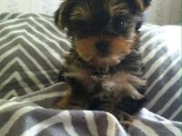 Ckc tiny Yorkie female $650. If you would like to come