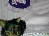 Two small female yorkies. Puppies are ready to go! They