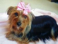 I have a beautiful female CKC registered yorkie! She