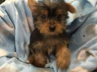 Adorable male Yorkie up to date on shots and worming .