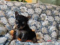 AKC (male)Yorkshire Terrier puppy teddy bear face born