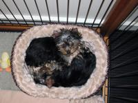 Very cute male and female Yorkie pups For sale asking