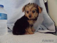 Yorkie puppies, not teacup, but the toy size.