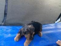 I have 6 beautiful yorkies puppies ready for new home