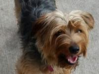 Harper is a yr old purebred Yorkie.  She is up to