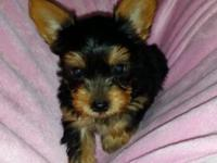 Ckc registered yorkie, shots wormed vet checked, will