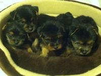 We now only have one female Yorkie left she is the