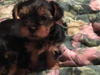 I have Yorkie babies born September 1, 2015 will be