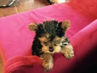 8 week old Yorkie male. Shots vet checked will be small