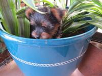 Have a 9 week old male yorkie, tails and dewclaw done,