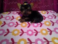 Pure breed 6 months old yorkie ....Female...Under 3lb