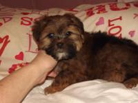 Lovely little male shorkie available for sale. He is