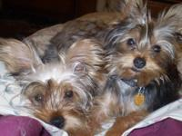 I have a 6 lb yorkie male Whimpy who is a little devil