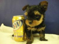 Yorkie and Yorkie-Poo puppies available and ready to go