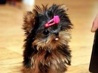 Animal Type: Dogs Breed: yorkie they are in need of a