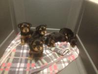 5 adorable little Yorkie babies born October 13, 2012