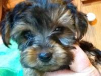 I have 4 male and 1 female yorkies for sale. They are