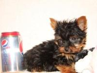 Cute Yorkie children. 8wks, vet checked, 1st shot & &