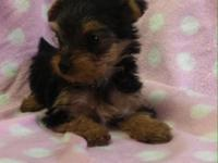 Ckc Yorkie baby girls $650 current vaccines and