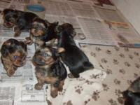 We have adorable Yorkie babies here. They are home