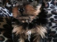 Registered Yorkie puppies for sale. Litter release date