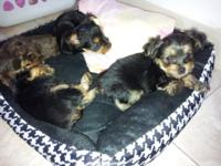 I HAVE ONE MORE YORKIE BOY LEFT THEY ARE GOING FAST NO